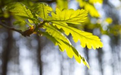 681739__oak-leaves_p