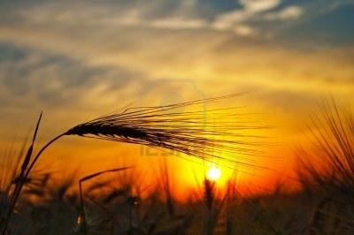 7558921-espigas-de-trigo-maduro-sobre-un-fondo-al-sol-en-la-noche