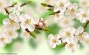 Beautiful spring blossoming apricot tree.