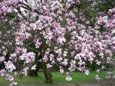 bMagnolia soulangeanaP1130143