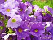Flores moraditas para pintar al óleo Imagen 687